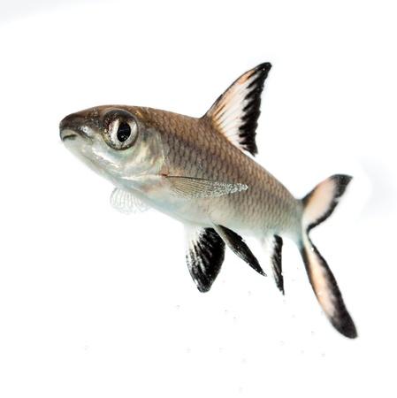 aquaria: Bala Shark or Silver Shark (Balantiocheilus melanopterus) isolated on white