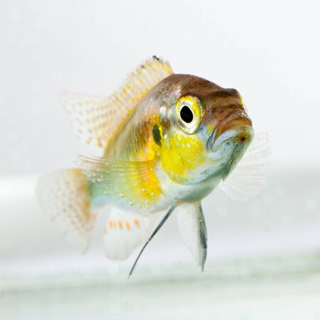 aquaria: cichlid fish (Geophagus surinamensis) on a white background
