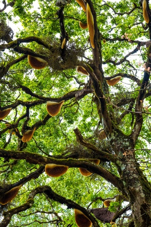 bee swarm: Honey Tree in India. Beehive hanging over a tree. Stock Photo