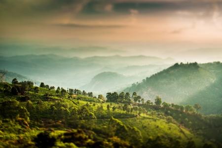 tea plantations: Landscape of the tea plantations in India, Kerala Munnar. (tilt shift lens)