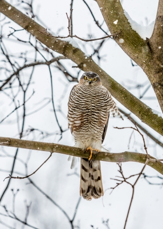Peregrine Falcon sitting on a tree branch. photo