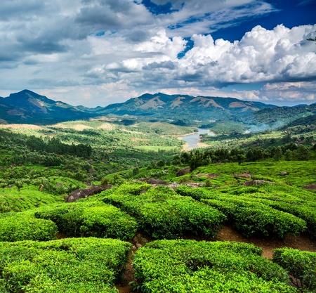 Tea tree: Landscape of the tea plantations in India, Kerala Munnar. Stock Photo