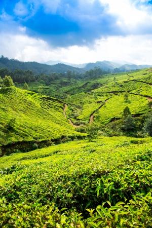 Landscape of the tea plantations in India, Kerala Munnar. photo