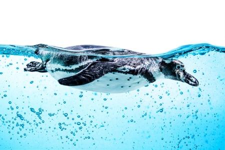 termed: Humboldt Penguin (Spheniscus humboldti) also termed Peruvian Penguin, or Patranca, swimming in the clear water. Stock Photo