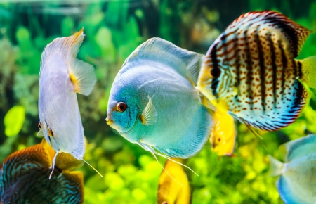 Symphysodon discus in an aquarium on a green background Stock Photo - 20326230