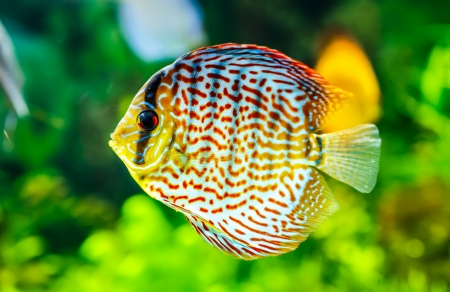 Symphysodon discus in an aquarium on a green background Stock Photo - 20326233