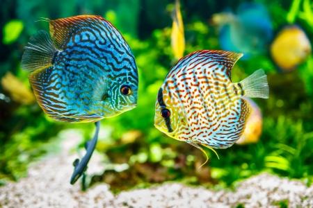 緑の背景に水槽の中の熱帯魚の一種円盤投げ 写真素材
