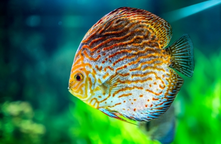 discus fish: Symphysodon discus in an aquarium on a green background