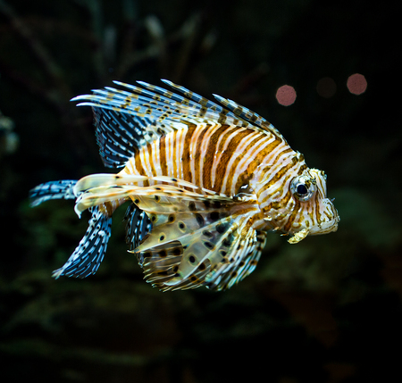 pterois: Pterois radiata in an aquarium on a dark background