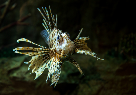 Pterois radiata in an aquarium on a dark background photo