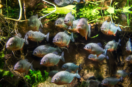 Piranha (Colossoma macropomum) in an aquarium on a green background photo