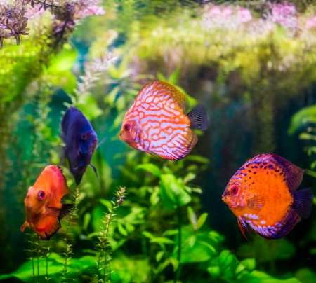 symphysodon discus: Symphysodon discus in an aquarium on a green background