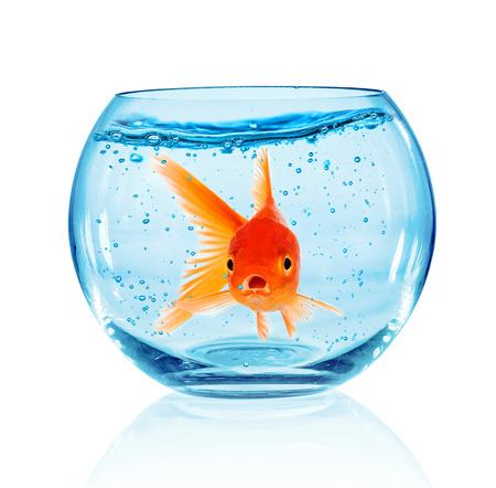 pez dorado: Goldfish en acuario aislado en fondo blanco.