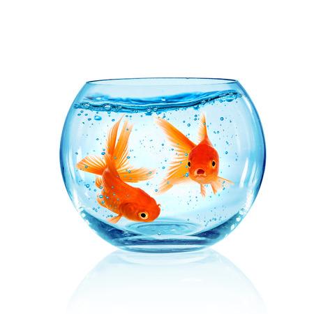 ichthyology: Goldfish in aquarium isolated on white background.