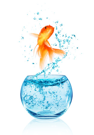 leap: Goldfish jumping out of the aquarium isolated on white background. Search of freedom. Stock Photo