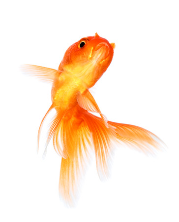 fishtank: Gold fish isolated on a white background.