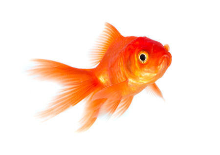 Gold fish isolated on a white background. photo