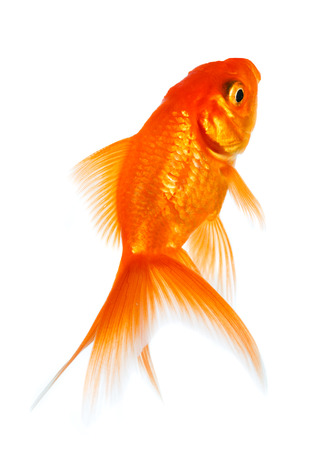 Gold fish isolated on a white background. Stock Photo - 22285546