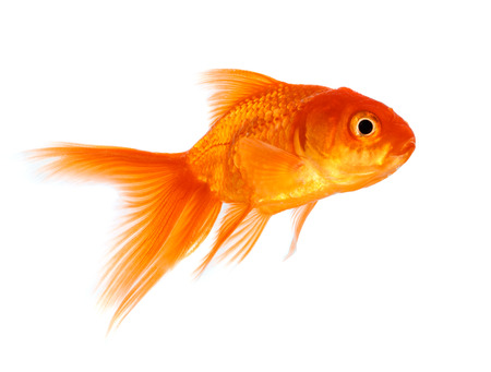 goldfishes: Gold fish isolated on a white background.