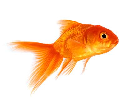 peces de acuario: Peces de oro aislado en un fondo blanco.