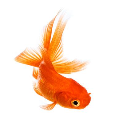 peces de colores: Peces de oro aislado en un fondo blanco.