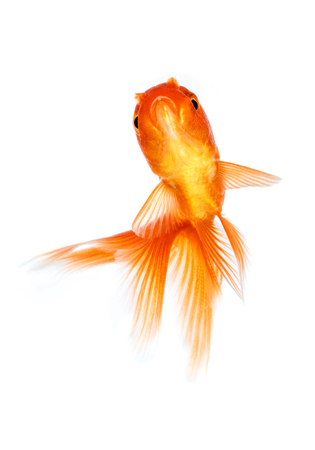 Gold fish isolated on a white background. Stock Photo - 22285550