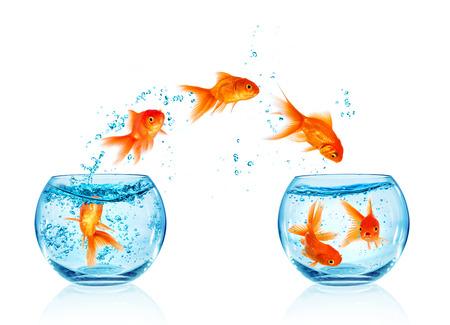 peces de colores: El saltar del Goldfish del acuario aislado en el fondo blanco. Búsqueda de la libertad. Foto de archivo
