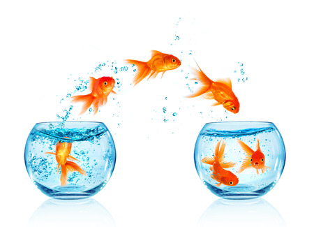 tanks: Goldfish jumping out of the aquarium isolated on white background. Search of freedom. Stock Photo