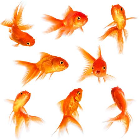 Goud vis geà ¯ soleerd op een witte achtergrond.