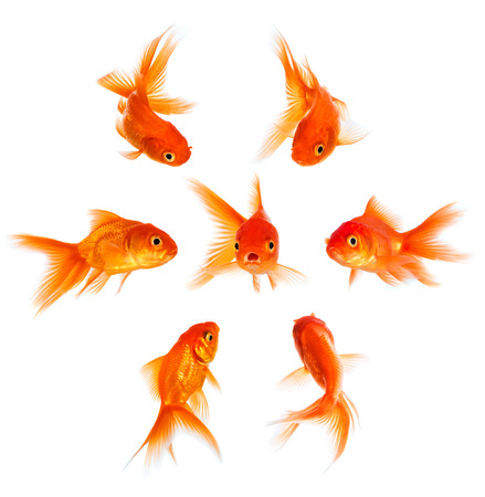 disapproval: Concept with goldfish. Condemnation and disapproval of the crowd.