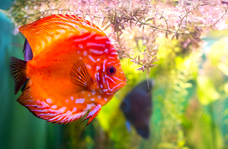 Symphysodon discus in an aquarium on a green background Stock Photo - 23722673