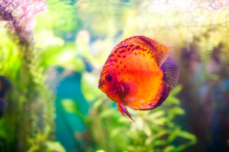 Symphysodon discus in an aquarium on a green background Stock Photo - 23722674