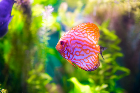 Symphysodon discus in an aquarium on a green background photo