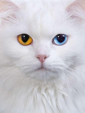 varicoloured: Retrato de un gato blanco ojos multicolor