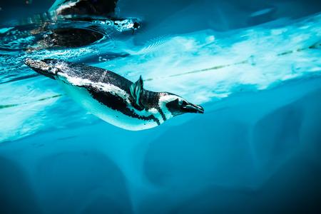 Humboldt Penguin (Spheniscus humboldti) also termed Peruvian Penguin, or Patranca, swimming in the clear water. photo