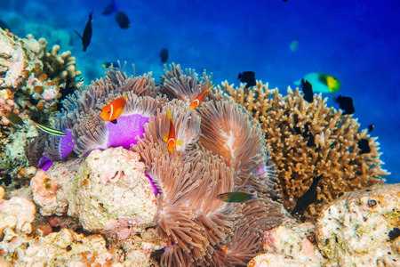 Topical saltwater fish ,clownfish - Coral reef in the Maldives, Anemonefish Stock Photo - 27422192
