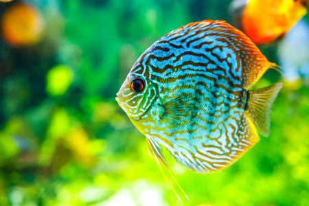 symphysodon: Symphysodon discus in an aquarium on a green background