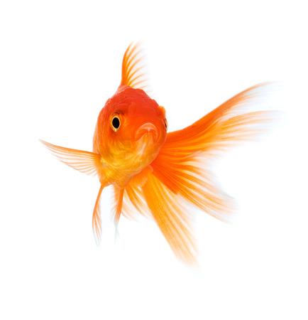 흰색 배경에 고립 된 황금 물고기. 스톡 콘텐츠