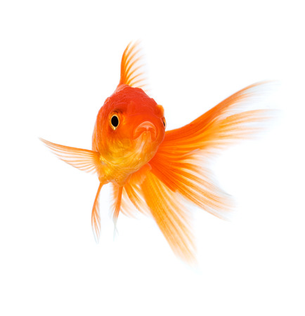 peces de colores: Oro de los peces aislados en un fondo blanco.