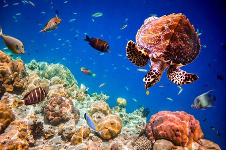 exoticism saltwater fish: Turtle - Eretmochelys imbricata floats under water. Maldives Indian Ocean.
