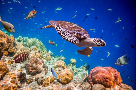 Tortuga - Eretmochelys imbricata flota bajo el agua. Maldivas Océano Índico.