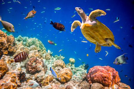 alam: Turtle - Eretmochelys imbricata floats under water. Maldives Indian Ocean.