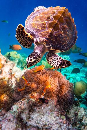 Tortue imbriquée - Eretmochelys imbricata flotte sous l'eau. Maldives de l'océan Indien récif de corail.