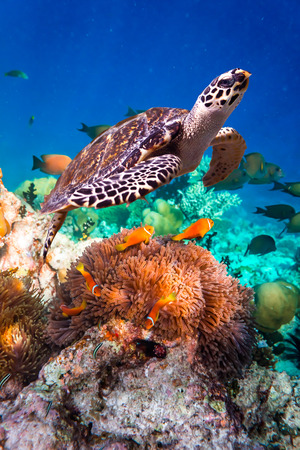 hard coral: Hawksbill Turtle - Eretmochelys imbricata floats under water. Maldives Indian Ocean coral reef.