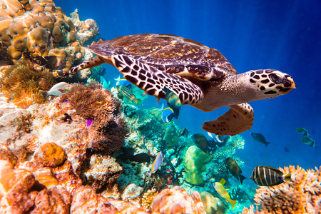 Hawksbill Turtle - Eretmochelys imbricata floats under water. Maldives Indian Ocean coral reef. photo
