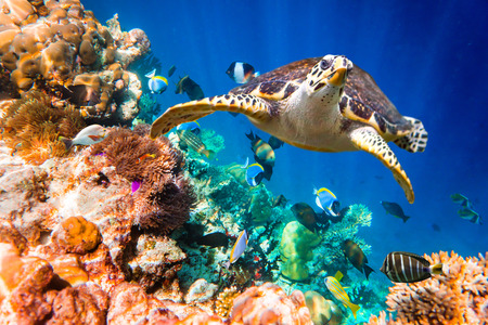 exoticism saltwater fish: Hawksbill Turtle - Eretmochelys imbricata floats under water. Maldives Indian Ocean coral reef.