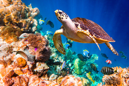corals: Hawksbill Turtle - Eretmochelys imbricata floats under water. Maldives Indian Ocean coral reef.