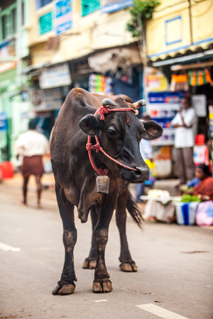 sacrosanct: Cow on the street of Indian town