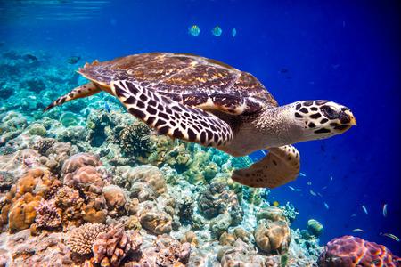 turtle: Hawksbill Turtle - Eretmochelys imbricata floats under water. Maldives Indian Ocean coral reef.