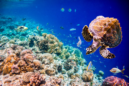 tropical fish: Hawksbill Turtle - Eretmochelys imbricata floats under water. Maldives Indian Ocean coral reef.